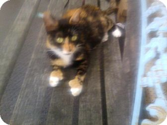 Domestic Shorthair Cat for Sale in Carey, Ohio - Mitten paw Momma