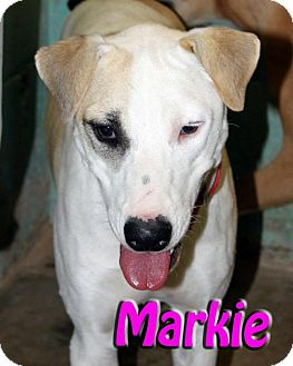 Labrador Retriever Mix Dog for adption in Midland, Texas - Markie