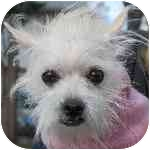 Maltese/Terrier (Unknown Type, Small) Mix Dog for Sale in New York, New York - Tuti
