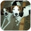 Photo 1 - Foxhound Dog for adoption in Waldorf, Maryland - Sweet Pea
