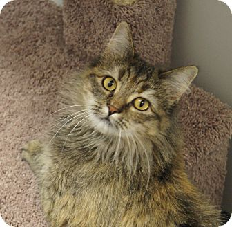 Maine Coon Cat for Sale in Colorado Springs, Colorado - Jeanette