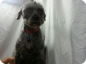 Affenpinscher/Schnauzer (Standard) Mix Dog for Sale in Ogden, Utah - Lady
