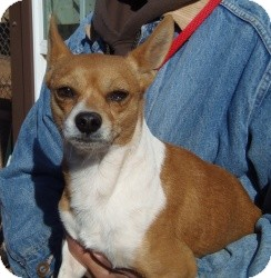 Jack Russell Terrier/Chihuahua Mix Dog for Sale in Post, Texas - Dunn