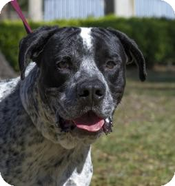 American Bulldog Mix Dog for Sale in Gainesville, Florida - Mater