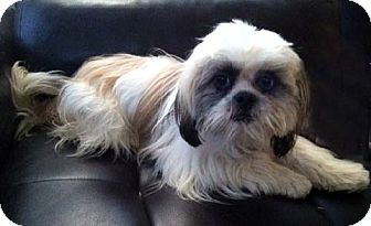 Lhasa Apso/Shih Tzu Mix Dog for Sale in Los Angeles, California - NIKOLAS