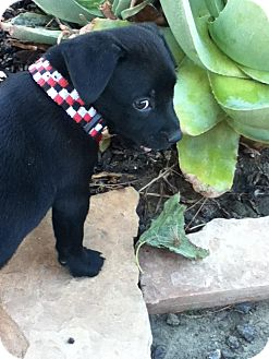 Labrador Retriever Mix Puppy for Sale in Torrance, California - THOMAS