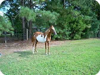 Paint/Pinto Mix for Sale in York, South Carolina - Jewel