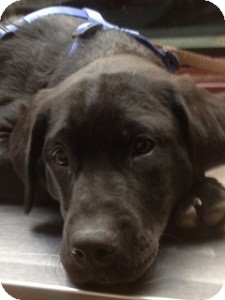 Labrador Retriever Mix Puppy for Sale in North Wales, Pennsylvania - Kohl