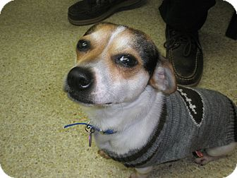 Chihuahua/Beagle Mix Dog for adption in McLoud, Oklahoma - Ricky