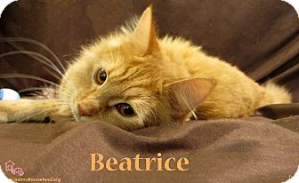 Domestic Mediumhair Cat for adoption in St Louis, Missouri - Beatrice