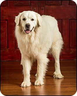 Great Pyrenees Dog for Sale in Owensboro, Kentucky - Buddy