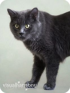Russian Blue Cat for Sale in Phoenix, Arizona - Keira