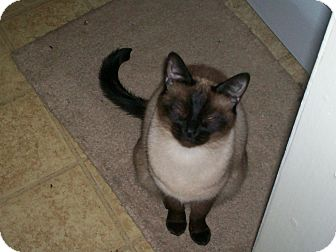 Siamese Cat for adoption in Braselton, Georgia - *Chelsea