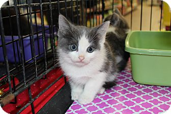 Maine Coon Kitten for Sale in santa monica, California - Connor