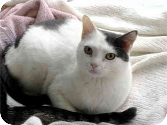 Domestic Shorthair Cat for adoption in Pittsboro, North Carolina - Regan