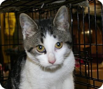 American Shorthair Cat for Sale in Foster, Rhode Island - Elfie