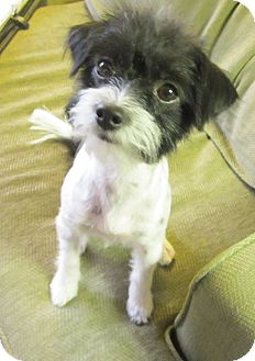 Terrier (Unknown Type, Small) Mix Dog for Sale in Scottsdale, Arizona - Tuffy