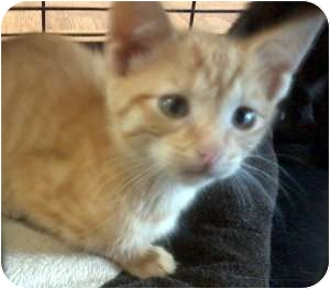 Domestic Shorthair Kitten for Sale in Jacksonville, Florida - Riley