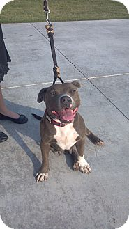 American Pit Bull Terrier Mix Dog for Sale in Tulsa, Oklahoma - Tessa