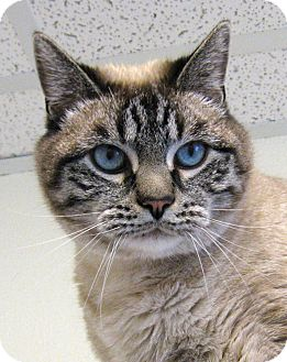 Siamese Cat for Sale in Colorado Springs, Colorado - Smitty
