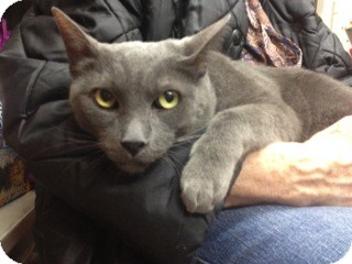 Siamese Cat for adoption in New York, New York - Fred