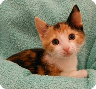 Domestic Shorthair Kitten for Sale in Sterling, Virginia - Lady Emma
