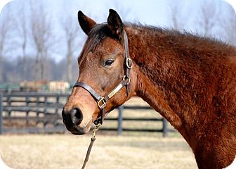Thoroughbred for adoption in Nicholasville, Kentucky - Daisy