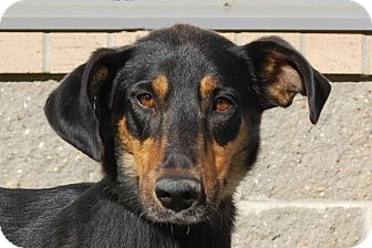 Doberman Pinscher/Shepherd (Unknown Type) Mix Dog for adption in London, Kentucky - Sage