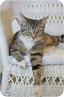American Shorthair Cat for adoption in Victor, New York - Alie