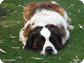 St. Bernard Dog for adption in Glendale, Arizona - KRAMER
