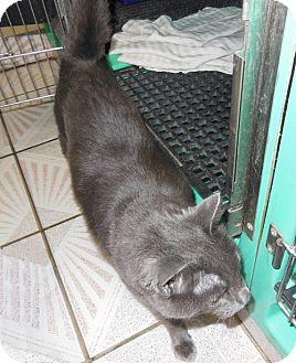 Russian Blue Cat for Sale in Laguna Woods, California - Grey Bear