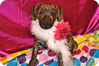Terrier (Unknown Type, Medium)/Boxer Mix Puppy for adption in San Diego, California - Africa