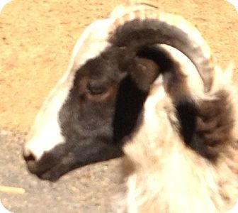 Sheep for Sale in Bangor, California - Hercules