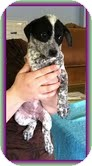 Australian Cattle Dog/Beagle Mix Puppy for Sale in Windham, New Hampshire - Wendy