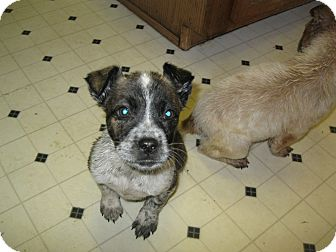 Blue Heeler Mix Puppy for Sale in Pelham, New York - Skyler