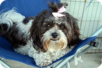 Shih Tzu/Poodle (Toy or Tea Cup) Mix Dog for Sale in Los Angeles, California - TASSELL