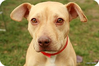 Pit Bull Terrier/Labrador Retriever Mix Dog for Sale in Chicago, Illinois - Biscuit