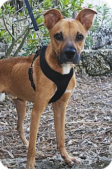 Shepherd (Unknown Type)/Boxer Mix Dog for Sale in North Palm Beach, Florida - Odie