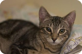 Domestic Shorthair Kitten for Sale in New York, New York - Denny