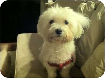 Maltese/Poodle (Miniature) Mix Dog for Sale in New York, New York - Brandon