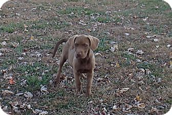 Labrador Retriever Mix Puppy for Sale in Bedford, Virginia - Paisley