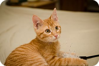 Domestic Shorthair Kitten for Sale in St. Louis, Missouri - Xander