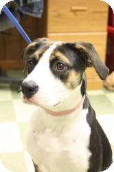 Beagle/Boxer Mix Dog for Sale in Dover, Ohio - Libby