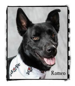 Husky Mix Dog for adption in Warren, Pennsylvania - Romeo