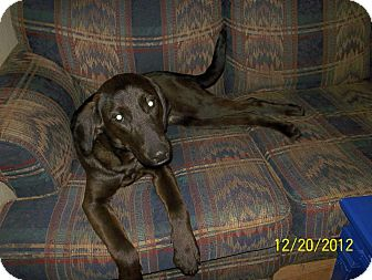 Labrador Retriever/Hound (Unknown Type) Mix Dog for Sale in Stephens City, Virginia - Sadie