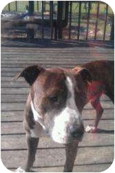 Pit Bull Terrier Mix Dog for Sale in Hopkinsville, Kentucky - Ozzy