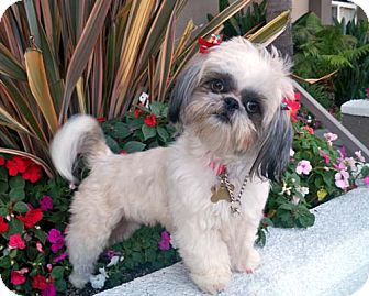Shih Tzu Dog for Sale in Los Angeles, California - YVETTE