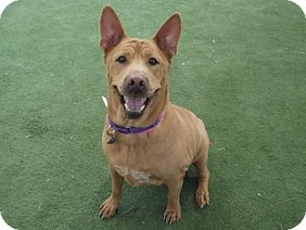 Shepherd (Unknown Type)/Shar Pei Mix Dog for adption in Phoenix, Arizona - Velvet
