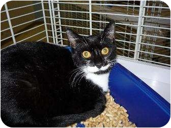 Domestic Shorthair Cat for adoption in Margate, Florida - Raccoon
