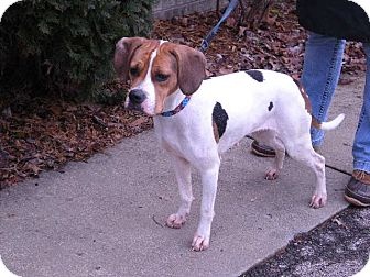 "Hound (Unknown Type) Dog for adption in New Castle, Pennsylvania - "" Katie """